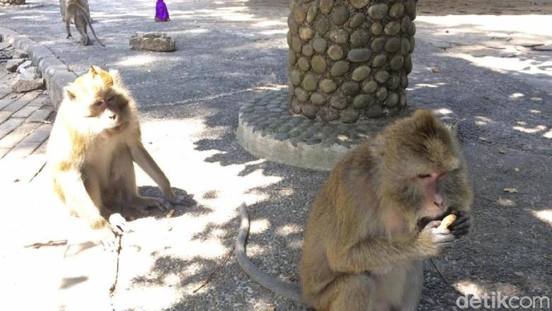 Kawanan Monyet di Ciamis