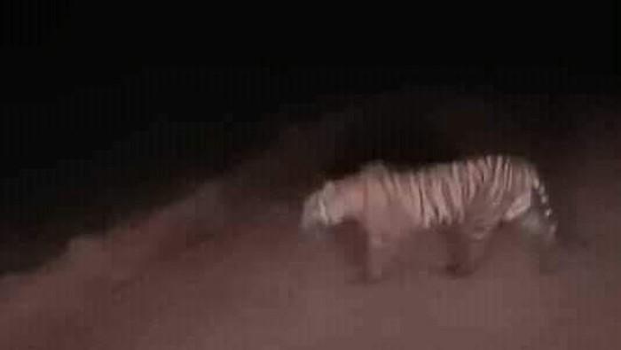 Harimau yang muncul di permukiman Rokan Hilir, Riau/Foto: DOK. Istimewa
