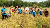 Diberi Pelatihan, Petani di Sumsel Berhasil Panen Padi Organik