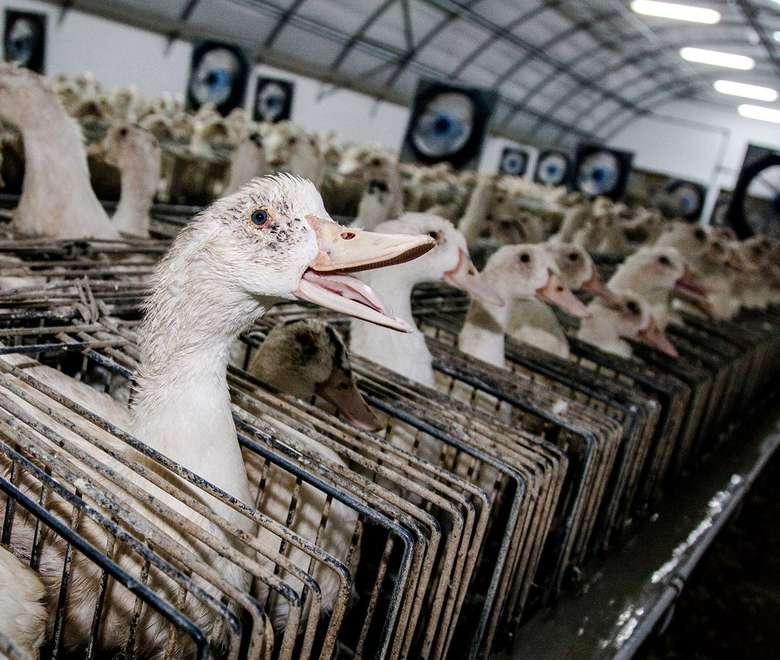 Foie gras sudah menjadi bagian dari kuliner klasik yang ada di Prancis sejak dulu. Rasanya yang enak dan gurih, membuat hidangan ini digemari banyak orang. Foto: Istimewa