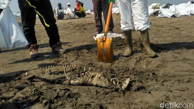2 Lumba-lumba Mati di Pantai Karawang, Diduga Terpapar Tumpahan Minyak