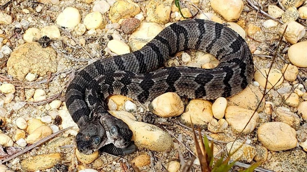 Langka! Ular Viper Berkepala Dua Ditemukan di New Jersey