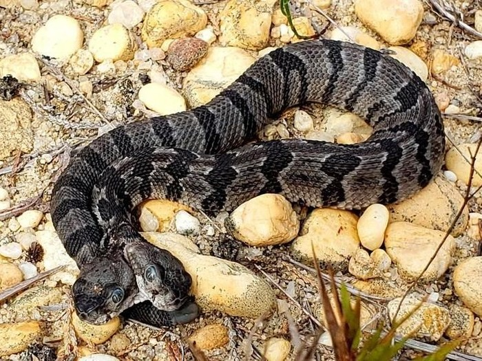 Ular berbisa viper berkepala dua ditemukan di New Jersey, AS