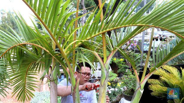 Bonsai dari jenis pohon kimeng atau Ficus microcarpa dari Taiwan ini disebut milik pedagang asal Jakarta Barat yang di jual seharga Rp 800 juta di gelaran pameran Flona 2019, Jakarta, Jumat (6/9). bonsai kimeng sebenarnya biasa dikategorikan di bawah kategori jenis bonsai beringin. Maka nama lengkap jenis yang satu ini sebenarnya adalah bonsai beringin kimeng. Sebagaimana tipe beringin pada umumnya yang dijadikan tanaman hias, maka untuk yang satu ini pun Anda akan menemukan tampilan yang memukau lengkap dengan rimbun daun berwarna hijau. Pohon Palem ini berbeda dengan palem botol pada umumnya karena memiliki cabang 4, menurut penjualnya tanaman ini susah ditemukan. Tanaman yang dinamakan Palem Botol Cabang ini dijual dengan harga Rp 150 juta. Bentuknya yang unik ini dapat menjadi perindang pekarangan anda yang luas.Palem botol atau palmiste gargoulette adalah satu di antara jenis tanaman yang biasanya ditanam sebagai tanaman hias pekarangan rumah. (CNBC Indonesia/Muhammad Sabki)