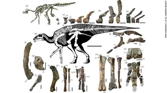 Rangka Kamusysaurus japonicus. Foto: CNN
