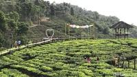 Jembatan Layang Klobungan memanjakan pengunjung untuk menikmati pesona kebun teh tanpa harus menginjak tanah (Yakub Mulyono/detikcom)