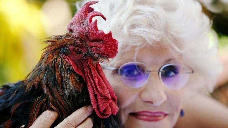 Warga Terganggu Suara Kokok Ayam Jantan, Kasusnya Dibawa ke Pengadilan