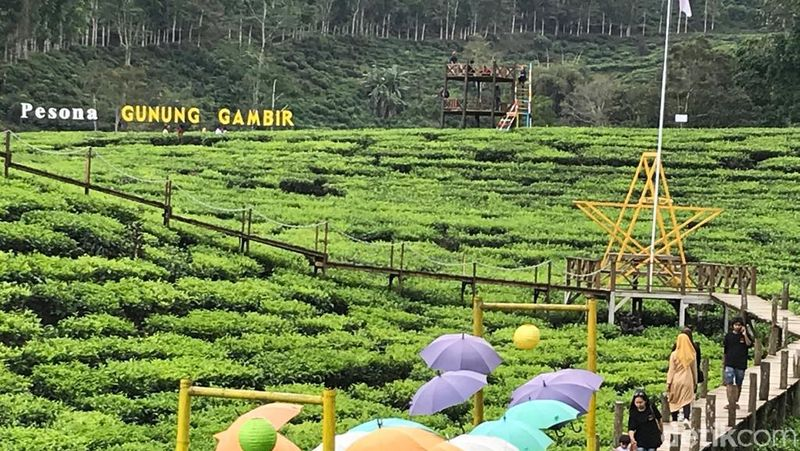 Di Jember ada destinasi wisata berupa gunung dan kebun teh yang cantik. Namanya perkebunan teh Gunung Gambir di Kecamatan Sumberbaru, Jember (Yakub Mulyono/detikcom)