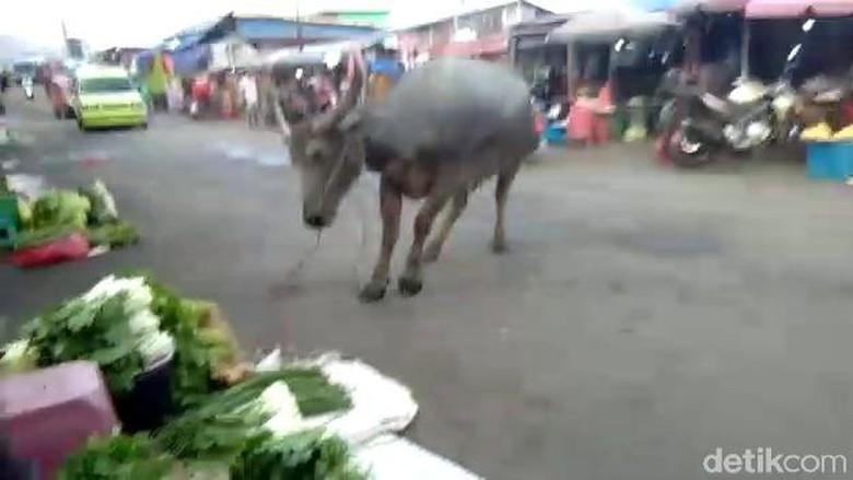 Ada Kerbau Ngamuk, Warga di Pasar Arumbai Ambon Lari Kocar-kacir