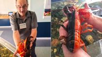 Wow! Lobster Super Langka Ini Punya Dua Warna Berbeda dengan Garis Sempurna