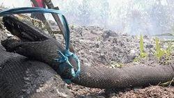Fakta-fakta Ular Raksasa Korban Kebakaran Hutan Kalimantan
