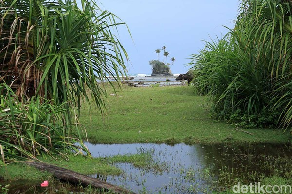 Panorama lain yang bisa dijumpai selain Pulau Spongebob adalah kawanan kerbau yang hilir mudik di sekitar Pantai Angkeo. Awas, banyak ranjau kotoran kerbau (Randy/detikcom)