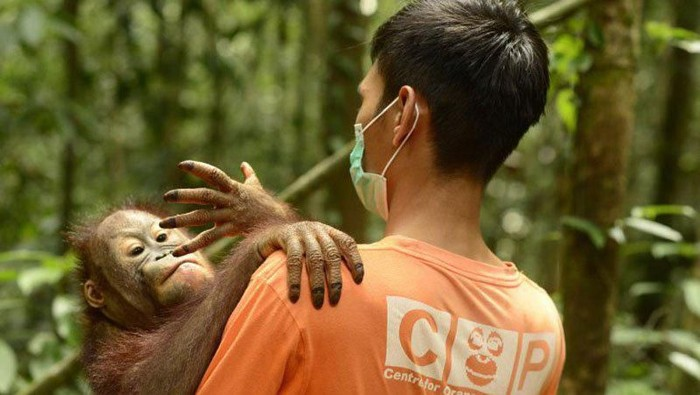 Foto Ilustrasi orang utan digendong perawat satwa. (ANTARA FOTO/HO/COP Borneo-Ruweti Nurpiana)