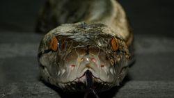 Mengenal Ular-ular Raksasa di Indonesia