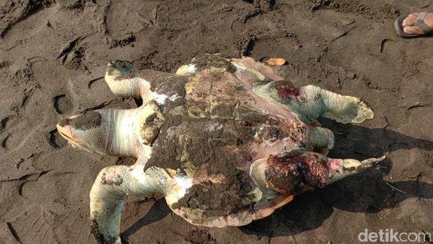 Seekor Penyu Mati Penuh Luka Terdampar di Pantai Pangandaran