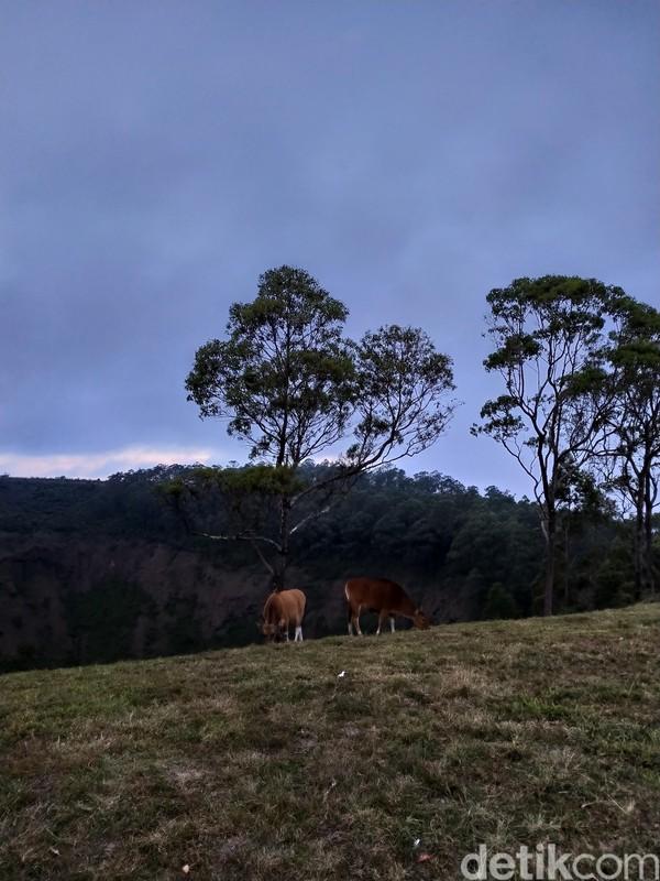Di area yang berlawanan, ada pemandangan ke Kota Bajawa. Perbukitan hijau nan segar menjadi tempat sapi-sapi mencari makan. Sungguh asri! (Aji Bagus/detikcom)