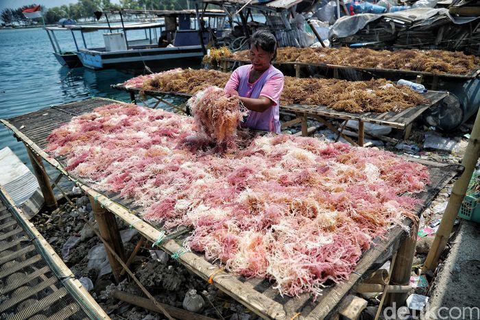 Seorang warga tengah memilah rumput laut untuk dijemur di kawasan Pulau Panggang, Kepulauan Seribu, Jakarta, Rabu (18/9/2019).