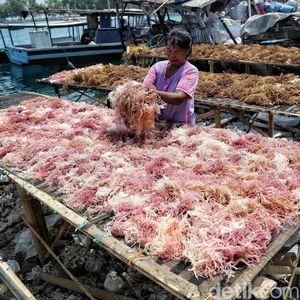 Melihat Aktivitas Nelayan Rumput Laut di Pulau Panggang