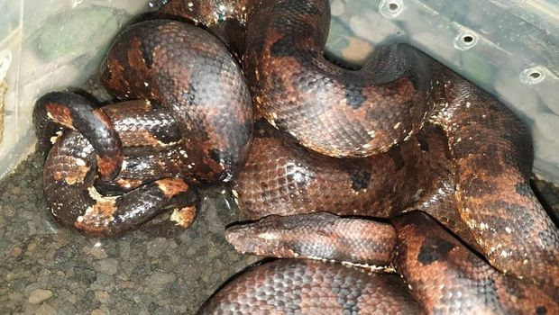 Mengenal Ular-ular 'Raksasa' di Indonesia