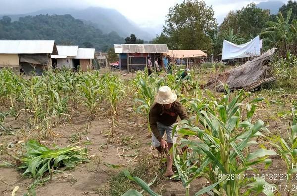 BTNGR mengizinkan masyarakat membongkar gubuknya sendiri, membawa materialnya keluar dari Hutan Pesugulan serta melakukan panen dini (BTNGR/Instagram)