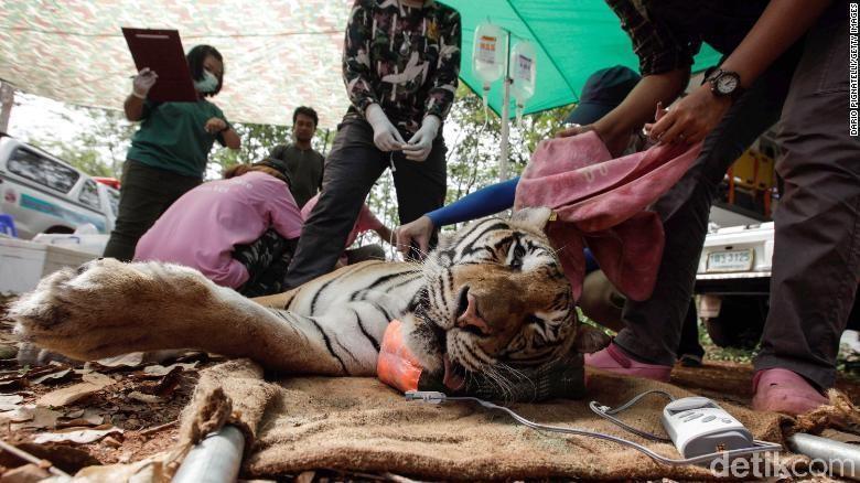 Dokter hewan Thailand membius harimau di Kuil Harimau Wat Pha Luang Ta Bua pada 1 Juni 2016 di Provinsi Kanchanaburi, Thailand (CNN)