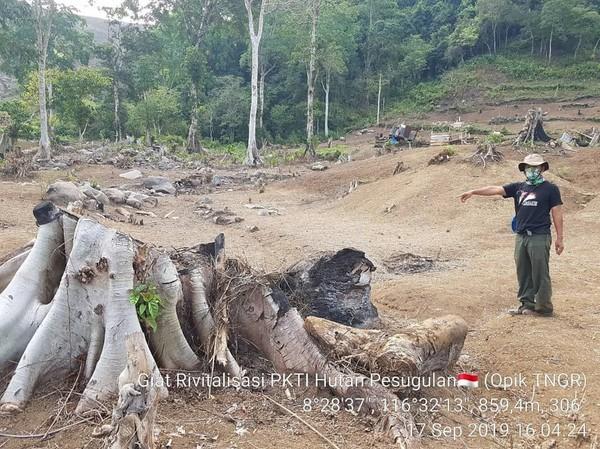 Hutan Pesugulan TN Gunung Rinjani masih menyimpan bukti-bukti kegiatan perambahan oleh oknum masyarakat seperti tonggak pohon yang ditebang dan dibakar (BTNGR/Instagram)