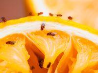Pakai Cara Mudah Ini Untuk Basmi Lalat Buah Agar Buah Tetap Segar