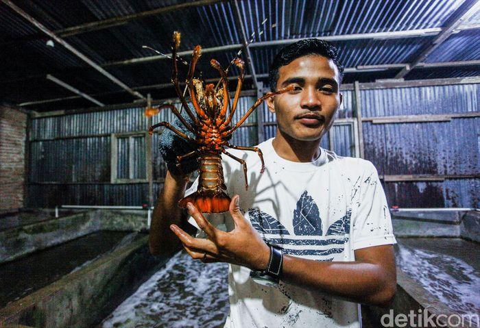 Pulau Simeulue yang berada di wilayah Aceh terkenal sebagai penghasil komoditi lobster.