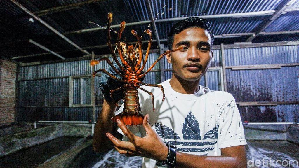Meraup Untung Lewat Bisnis Ternak Lobster