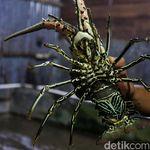 Apa yang Bikin Ekspor Benih Lobster Masih Marak?