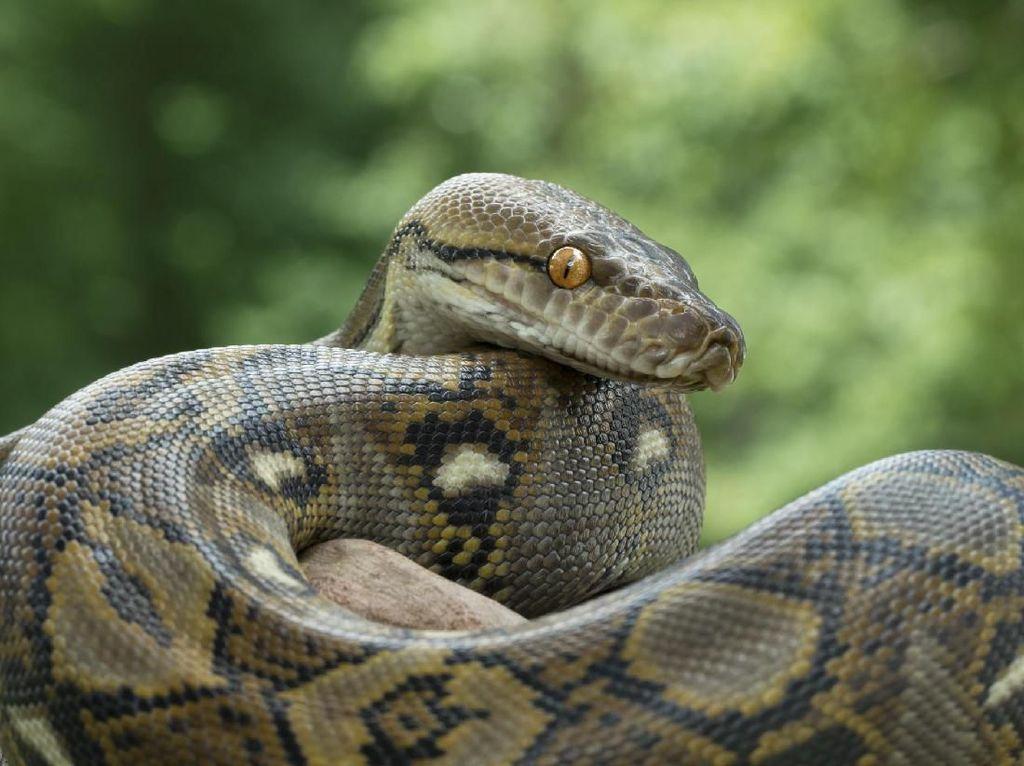 Penemuan ular sanca di Surabaya. (Foto: Deny Prastyo Utomo)