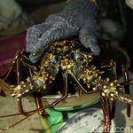 Strategi Edhy Prabowo Jaga Stok Benih Lobster Meski Buka Ekspor