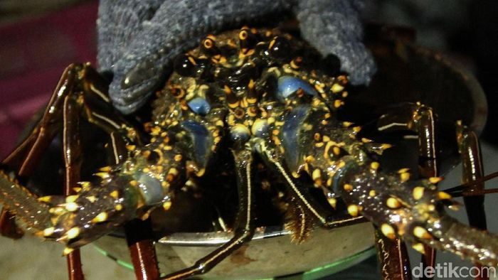 Strategi Edhy Prabowo Jaga Stok Benih Lobster Meski Buka Ekspor Foto: Rifkianto Nugroho