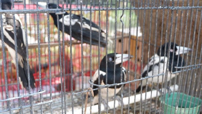 Penyelundupan Satwa Langka dari Papua Digagalkan