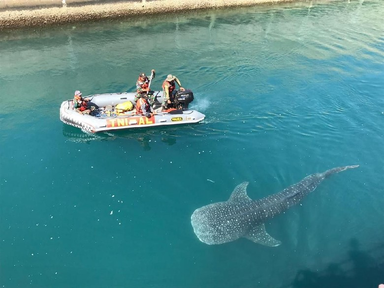 Hiu Paus yang Terjebak di Kanal PLTU Paiton Kembali ke Laut Lepas