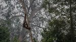 Miris! Karhutla Kalimantan Bikin Orangutan Tak Punya Rumah