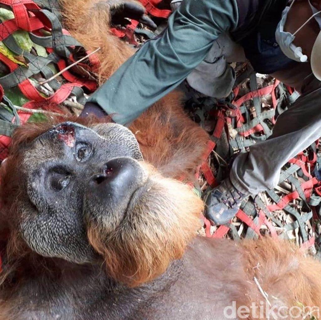 Orangutan Tapanuli Ditemukan Terluka di Batangtoru