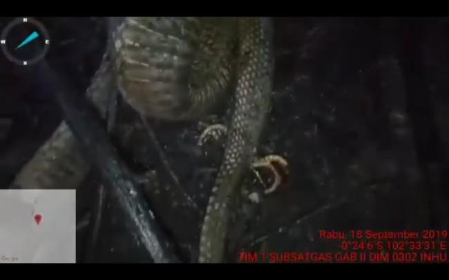 Ular di Riau Bukan Berkaki, Itu Penisnya