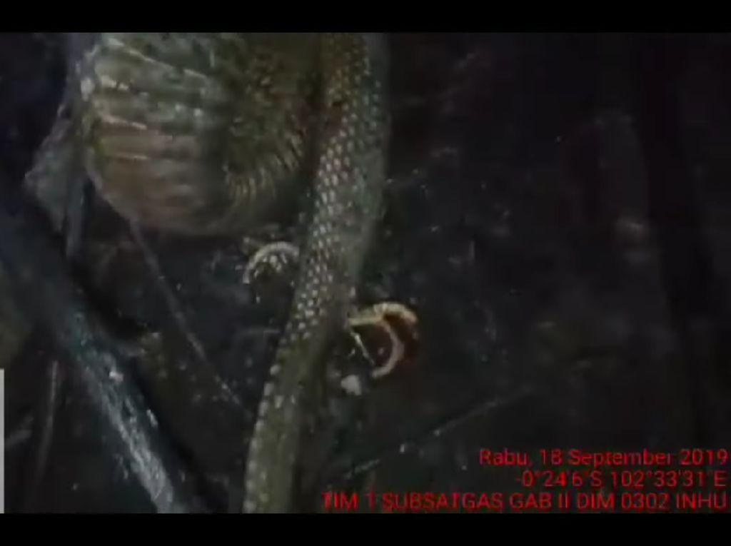 Reticulated python/Python reticulatus, jenis Sanca Kembang korban Karhutla Kalimantan. (Foto: Dok. RibeirodosSantos/iStock)