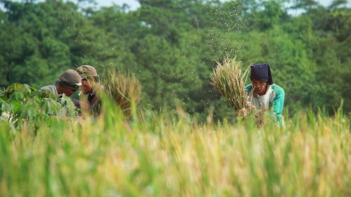 Ada rasa syukur yang dinikmati petani yaitu Hasil Panen yang