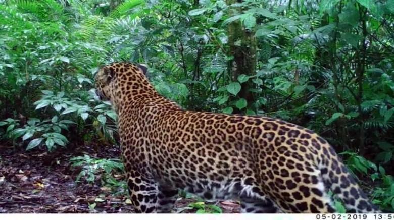 Penampakan macan tutul di Halimun Salak (Istimewa/Camera Trap)