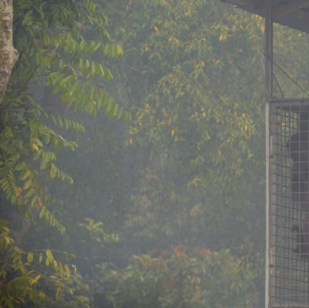 Kasihan! Orang Utan Kalimantan dalam Bekapan Asap