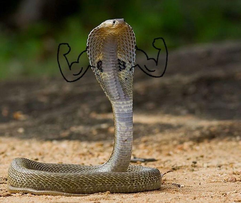 Si ular memamerkan ototnya. (Foto: Boredpanda)