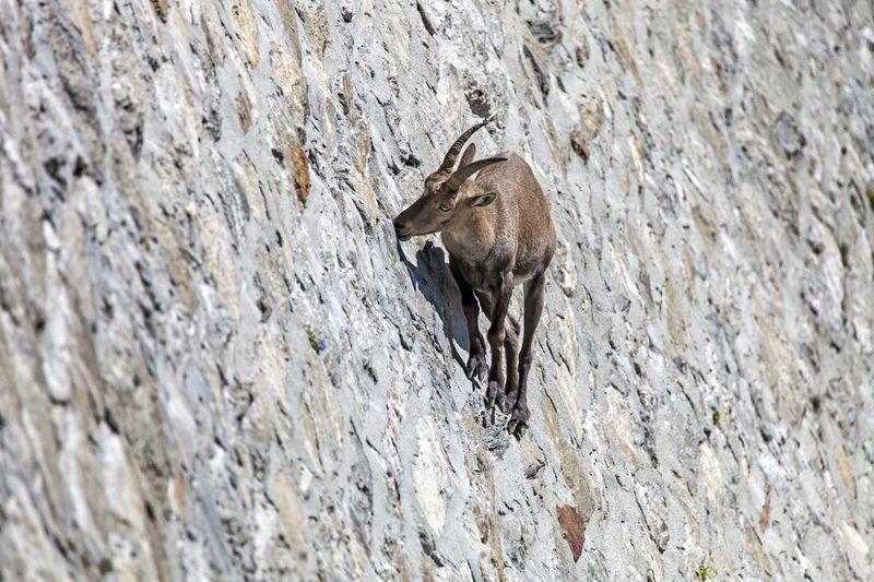 Ada yang spesial di bendungan Cingino yang berada di Provinsi Verbano-Cusio-Ossola, utara Italia. Terlihat banyak kambing yang mendaki tebing (iStock)