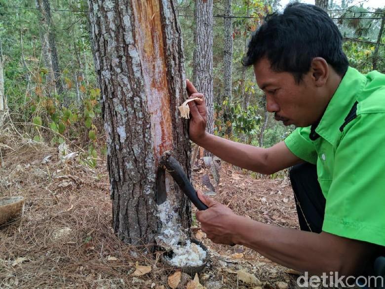 Geliat Kelompok Tani Hutan di Ponorogo Menyadap Getah Pinus