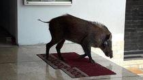 Penampakan Babi Hutan yang Masuk Masjid di Serang