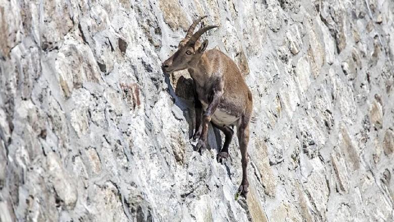Kambing ibex (iStock)