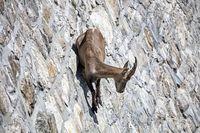 Kambing-kambing yang Hebat Panjat Tebingnya