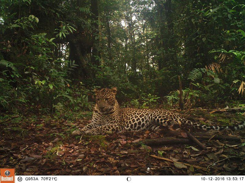 Keberadaan macan tutul berada di sekitar Gunung Halimun Utara. Menurut Pengendali Ekosistem Hutan Balai TNGHS, tahun 2016 terakhir tercatat sebanyak 68 individu macan tutul (Dok Taman Nasional Gunung Halimun Salak)