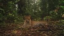 Jarang Terlihat! Penampakan Macan Tutul di Halimun Salak